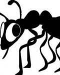 Black ant with big eyes